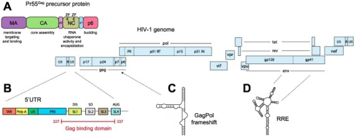Human immunodeficiency virus type 1 (HIV-1) genome and Gag organization. (A) The Pr55Gag protein. Major functions of the different domains are indicated; (B) The HIV-1 5′ untranslated region (UTR) contains the major packaging region SL1–SL4. The major Gag binding domain comprises nucleotides 227–237 in the NL43 strain [68]; (C) A region overlapping the Gag-Pol frameshift signal and (D) the Rev response element (RRE), might also be implicated in packaging. ZF: zinc finger; MA: matrix; CA: capsid; NC: nucleocapsid; p1: spacer domain SP2; p2: spacer domain SP1; TAR: Tat responsive element; Poly-A: polyadenylation signal, U5: unique 5′ region, PBS: primer binding site; SL: stem loop; DIS: dimerization initiation site; SD: splice donor; U3: unique 3′ region; R: repeat region; PR: protease; RT: reverse transcriptase; int: integrase; vif: viral infectivity factor; vpu: viral protein U; vpr: viral protein R; gp: glycoprotein; nef: negative factor.