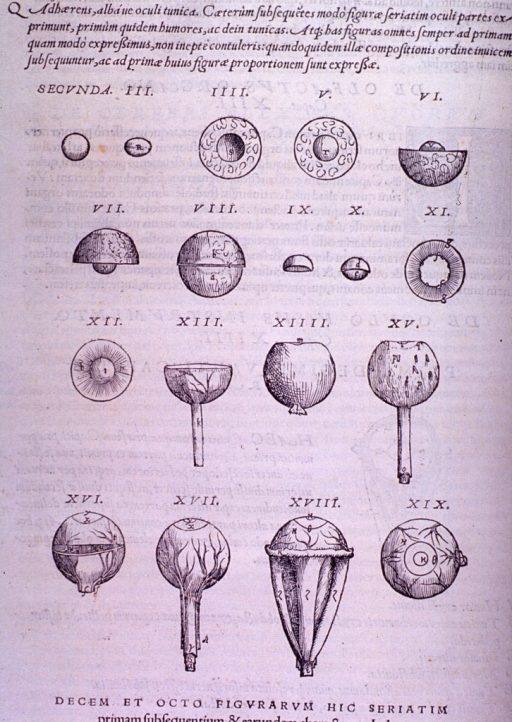 <p>Sections of the globe of the eye.</p>
