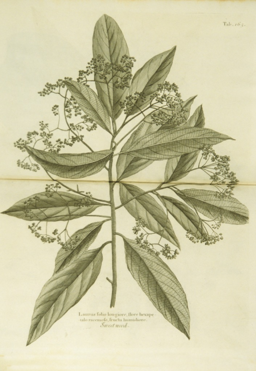 <p>Illustration of the leaves, branches, and fruit of sweet wood.</p>