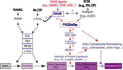 A working hypothesis for RAGE-mediated regulation of os ...