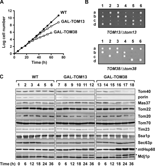 Tom13 and Tom38 are involved in mitochondrial protein import in vivo. (A) Yeast strains in which Tom13 or Tom38 is down-regulated slowed their growth on galactose-free medium. Wild-type cells (WT) and those carrying the TOM13 (GAL-TOM13) or TOM38 gene (GAL-TOM38) under control of the GAL7 promoter were first grown on galactose-containing medium and then transferred to galactose-free medium. (B) One of the two chromosomal TOM13 (top) or TOM38 (bottom) genes in a yeast diploid strain, W303-AB, was disrupted, the diploid cells were sporulated, and six different asci were dissected. The four spores recovered from each asci were allowed to germinate and to grow on YPD for 45 h at 30°C. (C) Total lysates were prepared from WT, GAL-TOM13, and GAL-TOM38 cells, which were grown at 23°C for12 h in lactate medium (+0.1% galactose), diluted, and then grown at 23°C for the indicated hours in lactate medium (+0.1% glucose). Total proteins were isolated and analyzed by SDS-PAGE and immunoblotting with antibodies against the indicated proteins. The arrowheads indicate the accumulated precursor forms of mtHsp60 and Mdj1p.