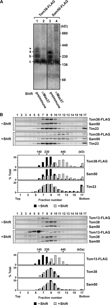 Tom38 forms a complex with Mas37 and Sam50. (A) Mitochondria containing Tom38-FLAG or Sam50-FLAG were solubilized as in Fig. 4 A and incubated with preimmune serum (Shift, preimmune) or anti-Mas37 antibodies (Shift, αMas37) for 1 h on ice. Solubilized protein complexes were analyzed by BN-PAGE and immunoblotting with the anti-FLAG antibody. The band marked with an asterisk is variable in different experiments. (B) Mitochondria containing Tom38-FLAG (top) or Tom13-FLAG (bottom) were solubilized with 0.8% digitonin (25 mM Tris-HCl, pH 7.5, 50 mM NaCl, 1 mM EDTA, 50 mM 6-aminohexanoic acid, and 10% glycerol) in the presence (+Shift) or absence (−Shift) of the anti-FLAG antibody for 1 h on ice. Solubilized protein complexes were analyzed by glycerol density gradient centrifugation (10–30% glycerol and 0.2% digitonin in the same buffer for solubilization) at 200,000 g for 6 h at 4°C. After centrifugation, fractions were collected from the top and analyzed by immunoblotting using antibodies against the FLAG epitope, Tom38, Sam50, and Tim23. Numbers indicate fractions (from top to bottom). The asterisk indicates IgG.