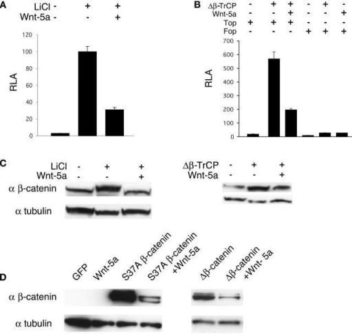 Wnt-5a promoted β-catenin degradation through a mechanism independent of GSK-3 and β-TrCP. (A) 24 h after transfection, 293 cells were treated with 40 mM LiCl for 16 h before cells were harvested. LiCl treatment up-regulated TOPFLASH reporter activity. Wnt-5a suppressed the effect of LiCl. (B) Cells were transfected with the indicated plasmids and harvested 48 h later for luciferase assay. Δβ-TrCP up-regulated the TOPFLASH reporter activity and this effect was suppressed by Wnt-5a. (C) 293 cells were transfected with the indicated plasmids and treated with LiCl as in A. LiCl treatment or Δβ-TrCP expression stabilized the endogenous β-catenin and Wnt-5a inhibited this effect. (D) Wnt-5a promoted the degradation of two mutant stabilized forms of β-catenin in 293 cells. Cells were transfected with the indicated plasmids and 48 h after transfection, cells were harvested for western analysis.