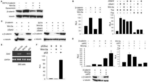 Wnt-5a promoted β-catenin degradation through a mechanism that requires Siah2 and APC. (A) β-catenin degradation in response to Wnt-5a was inhibited by the proteasome inhibitor epoxomicin. 293 cells were transfected with indicated plasmids. 38 h after transfection, cells were treated with 100 nM epoxomicin for 8 h before they were harvested. (B) A dominant negative Siah2 (ΔSiah2) blocked Wnt-5a mediated inhibition of TOPFLASH activity activated by exogenous β-catenin. ΔSiah1 or ΔSiah2 alone also up-regulated TOPFLASH activity and this was not inhibited by Wnt-5a. FOPFLASH responded to ΔSiah1 or ΔSiah2 very weakly. (C) ΔSiah2 blocked the degradation of both wild-type and mutant β-catenin promoted by Wnt-5a. (D) ΔAPC blocked Wnt-5a–induced inhibition of β-catenin activity and degradation. ΔAPC alone also up-regulated TOPFLASH, which was hardly inhibited by Wnt-5a. FOPFLASH did not respond to ΔAPC. (E) RT-PCR was performed to detect Siah2 transcript. Expression of Siah2 was induced by Wnt-5a and p53 in 293 cells. (F) Wnt-5a did not activate p53 transcriptional activity.