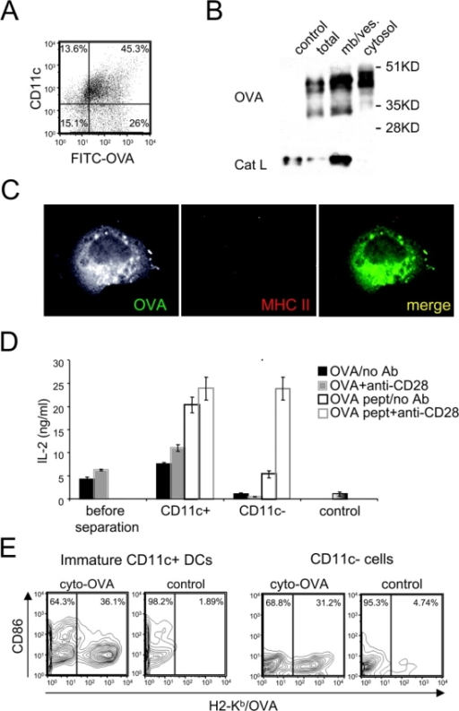 "CD11c-negative cells internalize and transport soluble OVA into the cytosol but do not exhibit cross presentation. (A) Immature B6D2F1 DC cultures were pulsed with FITC-OVA (5 mg/ml) for 30 min, then washed. FITC-OVA uptake and cell surface expression of CD11c were monitored by flow cytometry. (B) DC cultures were pulsed with OVA (5 mg/ml) for 30 min, washed, and chased for 30 min. CD11c-negative cells were separated from DCs using magnetic beads conjugated to anti-CD11c mAb. After homogenization of CD11c-negative cells, cytosolic and membrane/vesicle fractions were separated by ultracentrifugation, and probed for OVA and Cat L by Western blot. (C) DC cultures were pulsed with FITC-OVA (5 mg/ml) for 30 min, then washed. Cells were transferred on coverslips and incubated at 37°C for 30 min to allow their attachment. Cells were then fixed, permeabilized, and stained using a rabbit anti-OVA Ab, and TIB 120 (anti-MHC II), and analyzed by confocal microscopy. (D) DC cultures were pulsed with 1 mg/ml of OVA for 2 h, washed, activated with LPS and cluster disruption, and chased for 7 h. After fixation, CD11c-positive DCs were separated from CD11c-negative cells as in B. Mixed cultures before separation of OVA-pulsed cells (or BSA-pulsed cells as a control), CD11c-positive and CD11c-negative fractions (>95%) were then cultured with OT.1 T cells in the presence or absence of anti-CD28 mAb. T cell activation was monitored at 24 h by measuring IL-2 production. ND indicates ""not done."" (E) Day 2 DC cultures were infected using a recombinant retrovirus encoding a cytoplasmic OVA construct. Cell surface expression of OVA/H2-Kb complexes (x-axis) and CD86 (y-axis) was monitored by flow cytometry on CD11c-negative and CD11c-positive cells at day 4. As a control noninfected cells were used. One representative experiment out of three is shown."