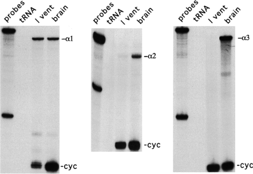 RNase protection assays indicate the lack of α2-isoform in guinea pig ventricular myocytes that lacked the stimulation of IP. mRNA for the α1-, α2- and α3-isoforms of the Na/K pump are abundantly expressed in guinea pig brain. In contrast, the α1-isoform is the dominant transcript in guinea pig ventricle. The α2-isoform is present at very low levels, just 6 ± 4% (SD) of the total Na/K pump mRNA based on quantification from three different samples (compared with 18% in normal samples). No α3-isoform mRNA was detected from any guinea pig heart sample.
