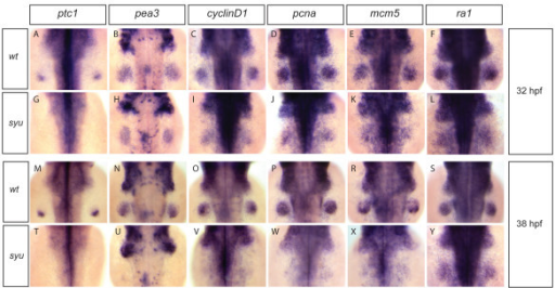 G1- and S-phase cell-cycle gene expression in fin buds of sonic-you mutant correlates with the Fgf signaling status. Wild-type embryos and sonic-you mutant embryos (in which the zebrafish shh gene is disrupted) at 32 hpf (A-L) and 38 hpf (M-Y) were analysed for expression of the Shh target patched1(ptc1) (A, G, M; T), the Fgf target pea3 (B, H, N, U), the cell-cycle genes cyclinD1, pcna, and mcm5 (C-E, I-K, O-R, V-X), and replication protein A1(ra1) (F, L, S, Y). The Shh target ptc1 was expressed in the posterior part of wild-type fin buds at 32 and 38 hpf stages (A, M), but its expresssion was absent in sonic-you mutant fin buds (G, T). The Fgf signaling target pea3 was expressed at comparable levels in wild-type and sonic-you fin buds at 32 hpf stage (B, H). At 38 hpf pea3 was still strongly expressed in the wild-type fin buds (N), but almost completely downregulated in the sonic-you mutant fin buds (U). cyclinD1, pcna and mcm5 were expressed strongly in both wild-type and sonic-you fin buds at 32 hpf stage (C-E, I-K). At 38 hpf these genes were still strongly expressed in the wild-type fin buds (O-R), but downregulated in the sonic-you mutant fin buds (V-X). Expression of ra1 was similar in both wild-type and sonic-you fin buds at 32 and 38 hpf stages.
