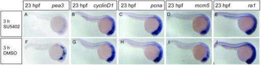 Fgf signaling inhibition does not cause global downregulation of G1- and S-phase cell-cycle gene expression. Wild-type embryos were treated with 10 μM SU5402 (A-E) or the carrier 0,125% DMSO (F-J) for 3 hours from 20 to 23 hpf. SU5402 treatment caused a strong downregulation of pea3 gene expression (A, F), but expression of cyclinD1, pcna, mcm5 and ra1 genes was not changed in SU5402-treated embryos compared to control ones (B-E, G-J).