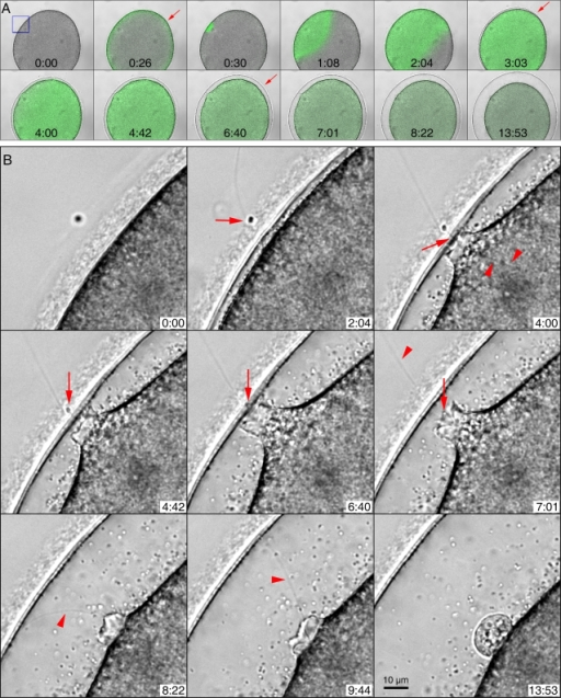 The spatiotemporal relationship among sperm entry, Ca2+ release, and the elevation of the vitelline layer in fertilized starfish eggs.(A) The transmission images of a representative fertilized egg (A. aranciacus) were superimposed with the corresponding fluorograms of the Ca2+ indicator at each time point. The moment of sperm's arrival at the jelly coat was set to t = 0:00 (min:sec). Following the quick cortical flash at 0:26 (arrow), a massive Ca2+ wave initiated from the sperm entry site (0:30) and propagated to the opposite side of the egg. At 3:03 when the Ca2+ wave had already encroached upon the entire cytoplasm, the fertilization envelope began to be elevated (arrow). The fertilization envelope was fully formed only after the Ca2+ wave had traversed the entire cytoplasm at 6:40 (arrow). (B) Detailed views of the sperm entry site (the area marked by a small blue rectangle in panel A) during fertilization. At 2:04 when the vitelline layer is locally elevated, the sperm is still located in the jelly coat (arrow). At 4:00, the sperm head still remains on the outside surface of the egg, but the long acrosomal process (arrow) is inside the egg and connected to a filamentous structure (arrowheads). At 4:42, the sperm head is still visible (arrow), the vitelline layer is further elevated and the focal plasma membrane at the sperm entry site is now being detached from the vitelline layer. At 4:42 and at 6:40, the sperm head (arrow) is still inside the jelly coat. At 7:01, the sperm head is inside the egg cytoplasm (arrow), and the plasma membrane is retracting behind the sperm. The tail is still outside (arrow). At 8:22 and at 9:44, the tail of the sperm finally enters the egg cytoplasm (arrowhead), as the plasma membrane further seals to form a fertilization cone. The motion picture of the entire process is available as a video file (Data S1).