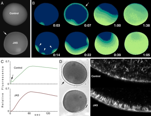 Effects of the actin-polymerizing agent jasplakinolide (JAS) on fertilization.(A) Mature eggs of A. aranciacus were injected with Ca2+ dye and incubated in the presence or absence of JAS (12 µM for 20 min). The moment of the first detectable Ca2+ release was set to t = 0:00 (min:sec). Conspicuous accumulation of Ca2+ dyes was evident in the submembraneous zones of the JAS-incubated eggs (arrow). (B) At 0:07, the control eggs manifested the cortical flash of Ca2+ (arrow), which is absent in the JAS-incubated eggs. Instead, JAS induced polyspermy and produced multiple initiation sites of Ca2+ signals at 0:14 (arrowheads). (C) Quantification of intracellular Ca2+ levels in the control and the JAS-incubated eggs after the addition of sperm. The arrow represents the cortical flash that is absent in the JAS-incubated eggs. (D) The formation of the fertilization envelope seen in the control eggs (arrow) is totally blocked in the JAS-incubated eggs. (E) Comparison of the cortical actin networks in the control and JAS-incubated eggs (before fertilization) using fluorescent phalloidin. In the presence of JAS, starfish eggs displayed remarkable actin hyperpolymerization in the subplasmalemmal region. In contrast, actin fibers in the inner cytoplasm were often reduced by JAS, reflecting the depletion of monomeric actin pool inside the cell [40].