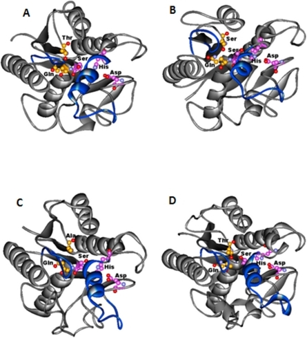 The top view of the serine hydrolases indicating a closed conformation of the lid insertion on the active site.(A) Rv1430 PE-PPE domain. (B) Rv1800 PE-PPE domain. (C) Rv1184c PE-PPE domain. (D) PDB_ID: 3AJA. The protein is represented in grey, the lid insertion in blue, the side chains of the amino acids in the catalytic triad and oxyanion hole are indicated in ball and stick.