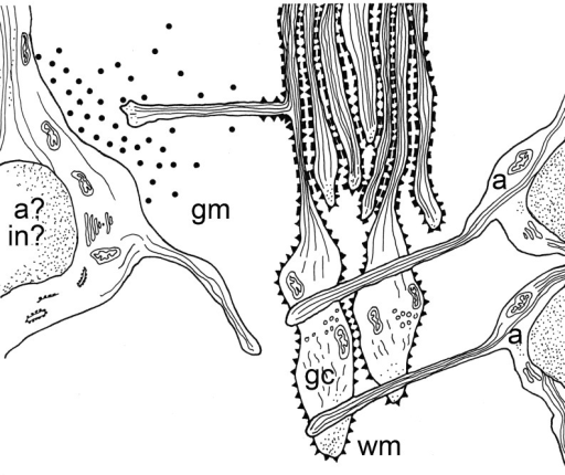 Schematic representation of outgrowth and guidance factors involved in the developing corticospinal tract in rat spinal cord. Vimentin immunoreactive astroglial cells (a) are situated in longitudinal tiers with their processes perpendicular to the outgrowing CST pioneer fibers and their growth cones (gc) (Joosten and Gribnau 1989a, b). The embryonic form of N-CAM is present on the growth cones of the pioneer CST fibers. The later-arriving CST fibers are guided by the cell adhesion molecule L1. During spinal gray matter target innervation, mainly through the formation of so-called back-branches, a tropic factor, probably NT-3, is released by either the CST target (inter)-neurons (in) or astroglial cells (a). Adapted from (Joosten 1997), with permission