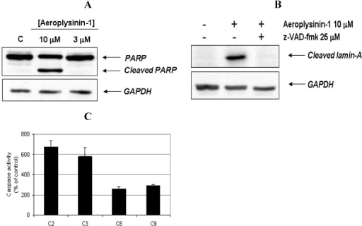 Activation of caspases and cleavage of apoptotic substrates induced by aeroplysinin-1. (A) Western-blot detection of PARP cleavage in aeroplysinin-1-treated BAE cells. Glyceraldehyde 3-phosphate dehydrogenase (GAPDH) was used as loading control. (B) Western-blot detection of cleaved lamin-A in aeroplysinin-1-treated BAE cells with or without pre-incubation of cells with the pan-caspase inhibitor z-VAD 25 μM. (C) Effect of 10 µM aeroplysinin-1 in BAE cells caspase-2, -3, -8 and -9 activation. Activity values from treated cells are expressed as percentage of untreated (control) cells. Bars represent the standard deviation from duplicated samples in the same assay. Similar results were obtained in three independent experiments.