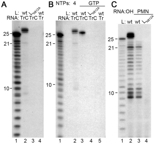 The isolated RSV RdRp adds nts to the 3′ end of the TrC template RNA.(A) A GTP label is incorporated into products of 26–28 nts in length. Wt or mutant (LN812A) RdRp was incubated with 0.2 µM TrC RNA template, or its complement Tr 1–25, as indicated, in a reaction containing 200 µM of each NTP and [α-32P]GTP. (B) GTP incorporation into the 26 nt product is independent of RNA synthesis. Reactions were performed as described for panel A, except that in lanes 3–5, the only NTP in the reaction was [α-32P]GTP. Lane 2 is a control containing all four NTPs and [α-32P]GTP. (C) Generation of the 26–28 nt products is dependent on the TrC RNA template containing a 3′-hydroxyl group. TrC RNA templates containing either a 3′-hydroxyl (OH; lane 2) or a 3′-puromycin (PMN; lanes 3 and 4) group were tested at a concentration of 2 µM in reactions containing 1 mM of each NTP and [α-32P]GTP. In each panel, lane 1 shows the molecular weight ladder.