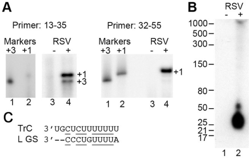 The +3 initiation site is utilized during RSV infection.(A) Primer extension analysis of Tr sense RNA generated during RSV infection. Two primers were utilized hybridizing to positions 13–35 or 32–55 relative to the 5′ terminus of RSV genome RNA (left and right panels, respectively). Lanes 3 and 4 show cDNAs generated from RNA isolated from mock or RSV infected cells, respectively. The sizes of the products were determined by co-migration of 32P end-labeled DNA oligonucleotides consisting of Tr sequence 3–35 or 1–35 (left panel, lanes 1 and 2, respectively), or 3–55 or 1–55 (right panel, lanes 1 and 2, respectively) to indicate the lengths of products initiated at +3 or +1. It should be noted that lanes 1–4 of the left panel are all from the same gel, but lanes 1 and 2 required a longer exposure to be detected. (B) Northern blot analysis of small genome sense RNA transcripts generated from the TrC promoter. Lanes 1 and 2 contain RNA isolated from mock or RSV infected cells, respectively. The blot was hybridized with a locked nucleic acid DNA oligonucleotide probe designed to anneal to nts 5–32 relative to the 5′ end of the RSV Tr sequence. (C) Alignment of the sequences from the 3′ terminus of the RSV TrC promoter and the ten nt L gene start (GS) signal. Identical nts are underlined and dashes indicate nts at the −1 and −2 positions relative to the L GS sequence, which are not part of the signal.