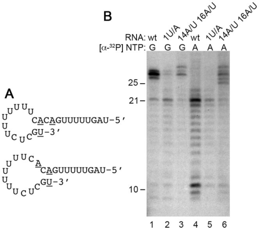 Analysis of the role of internal sequences of the TrC RNA in 3′ nt addition.(A) Schematic diagram showing the two putative hairpin loop structures formed by the TrC RNA. Nts 1, 14 and 16, which were subjected to mutagenesis are underlined. (B) Effect of mutation of nt 1, or nts 14 and 16 of the TrC RNA on 3′ nt addition. Reactions were performed containing 25 nt TrC RNA that was of wt sequence (lanes 1 and 4), or containing a 1U/A substitution (lanes 2 and 5), or substitution of nts 14A and 16A with U residues (lanes 3 and 6). Reactions were performed using 0.2 µM RNA and 500 µM of each NTP. Lanes 1–3 show RNAs labeled with [α-32P]GTP, and lanes 4–6 show RNAs labeled with [α-32P]ATP.