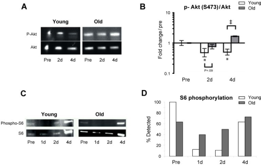 Immobility induced skeletal muscle atrophy results in an age-specific decrease in Akt and ribosomal protein S6 phosphorylation.A. Western blotting of whole muscle protein homogenates of phosphorylated Akt and total Akt. B. Immobility decreased levels of phosphorylated Akt/total Akt ratio (p-Akt/Akt) at the early (2–4 days) phase of immobility in young but not aged skeletal muscle. * Time effect, p<0.05, compared to pre. # Age effect, p<0.001 young compared to old within time point. Due to lack of muscle tissue n = 6 (3 young and 3 old) in these analyses. C. Western blotting of whole muscle protein homogenates of total and phosphorylated S6 ribosomal protein. D. The percentage of the total number of subjects at each time point where p-S6 could be detected. Chi-square: Young p<0.001, Old p = 0.44. In a high number of especially young subjects phosphorylated S6 ribosomal protein (but not total S6 ribosomal protein) became non detectable after immobilization which made an exact quantification impossible.
