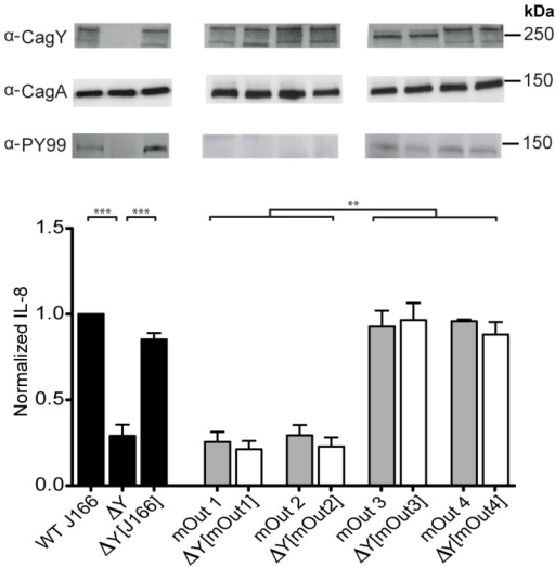 Recombination in cagY during infection of mice is sufficient to reduce the capacity of H. pylori to induce IL-8 and translocate CagA.Deletion of cagY (▵Y) from WT H. pylori J166 significantly reduced its capacity to induce IL-8 (mean ± SEM of 3 replicates), which was recovered when the chromosomal WT cagY allele was restored (▵Y [J166]) by complementation (black bars). Two output strains from C57BL/6 mice with unique cagY alleles (mOut1, mOut2) lost the capacity to induce IL-8 (gray bars) and translocate CagA, although they expressed CagY (α-CagY). Complementation of ▵cagY with cagY from mOut1 (▵Y [mOut1]) or mOut2 (▵Y [mOut2]) recapitulated their lack of IL-8 induction (white bars) and translocation of phosphorylated CagA (α-PY99). Similarly, replacement with cagY from two output strains (mOut3, mOut4) that expressed a unique cagY but maintained the capacity to induce IL-8 (gray bars) and translocate CagA, also phenocopied their IL-8 induction and translocation of CagA. All strains expressed CagA (α-CagA), though only those that induced IL-8 had the capacity to translocate CagA that was tyrosine phosphorylated. Multiple bands in the CagY immunoblot could represent different transcription or translation products, or even protein fragments, but they are CagY-specific since they are absent in the cagY deletion mutant. **P<0.01; ***P<0.001.