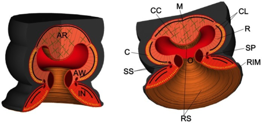 Schematic of the octopus suckers.AR, acetabular roof; AW, acetabular wall; C, circular muscle (yellow sections); CC, cross connective tissue fibers (green crosses); CL, connective tissue layer; IN, infundibulum; M, meridional muscle (black lines); O, orifice; R, radial muscle (gray dotted line); RIM, rim around the infundibulum; RS, rough surface located on the surface of the infundibulum, orifice and acetabular protuberance; SP, primary sphincter muscle; SS, secondary sphincter muscle.
