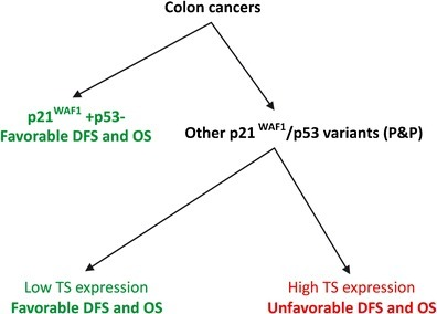 Schematic algorithm for determining the prognostic significance of nuclear TS expression in patients with stage B2 + C colon cancer subjected to 5FU-based adjuvant chemotherapy