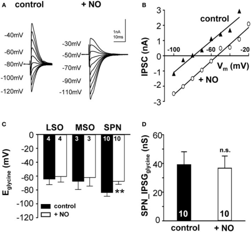 Nitric oxide suppresses KCC2 activity. (A) Glycinergic IPSCs were evoked in a mouse SPN neuron by electrical stimulation of the MNTB. The command potentials ranged from −120 to −30 mV in steps of 10 mV. The IPSC reversal potential changed from −80 mV in control conditions to −50 mV after the modulation of KCC2 activity by NO signaling. (B) Current–voltage relationship for the SPN-IPSCs shown in (A). The parallel shift of the curves indicates a sole change in reversal potential without changing the conductance. (C) Average data show a significant depolarizing shift in IPSC reversal potential following NO application in the SPN, but not in LSO or MSO. (D) The overall glycinergic conductance in SPN neurons is unchanged by NO, indicating no change in the glycine receptor or the glycine release to be involved. **p ≤ 0.01.