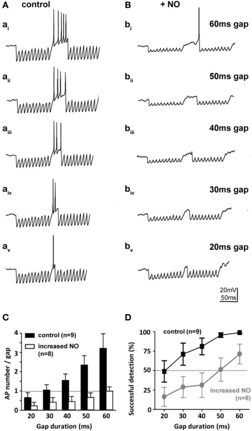 Nitric oxide suppresses gap-detection on a cellular level. (A) Mouse SPN neurons show offset firing in responses to gaps of different durations (60–20 ms) embedded in trains of electrically evoked IPSPs. (B) Bath application of an NO donor reduced the number of action potentials per gap and delayed the action potential within the gap so that only longer gaps were detected. Stimulus artifacts were removed for clarity. (C) The number of evoked action potentials increased with gap duration in controls (black bars), but was never more than one with NO (white bars). (D) Repetitive stimulation (10 IPSP trains) was used to estimate gap-detection success, which is plotted here as % offset action potentials against gap duration. Threshold was defined as 50% success (dashed line); controls (black) reliably detected gaps of 20 ms or longer, but following NO, gap-detection thresholds increased to 60 ms or longer. Data plotted as mean ± s.e.m. (n indicated on the respective graph).