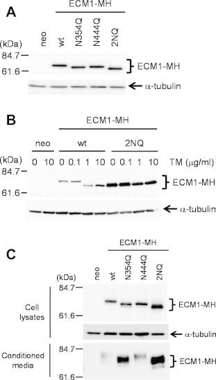 Negative regulation of ECM1 secretion by N-glycosylation at Asn354. (A) HT1080-neo, HT1080-ECM1-MH, HT1080-ECM1-N354Q-MH, HT1080-ECM1-N444Q-MH, and HT1080-ECM1-2NQ-MH cells were lysed, and aliquots of the cell lysates were subjected to SDS–PAGE. The proteins were detected by immunoblotting with anti-c-myc or anti-α-tubulin antibodies. (B) HT1080-neo, HT1080-ECM1-MH, and HT1080-ECM1-2NQ-MH cells were treated with tunicamycin (TM) at various concentrations (0, 0.1, 1, and 10 μg/mL) for 24 h. The cells were lysed, and aliquots of the cell lysates were subjected to SDS–PAGE. The proteins were detected by immunoblotting with anti-c-myc or anti-α-tubulin antibodies. (C) HT1080-neo, HT1080-ECM1-MH, HT1080-ECM1-N354Q-MH, HT1080-ECM1-N444Q-MH, and HT1080-ECM1-2NQ-MH cells were cultured in serum-free media for 24 h. Subsequent conditioned media and cell lysates were collected. Conditioned media were incubated with Ni-NTA agarose for 2 h at 4 °C. The bound proteins were eluted with 300 mM imidazole. Obtained samples were subjected to SDS–PAGE. The proteins were detected by immunoblotting with anti-c-myc or anti-α-tubulin antibodies.