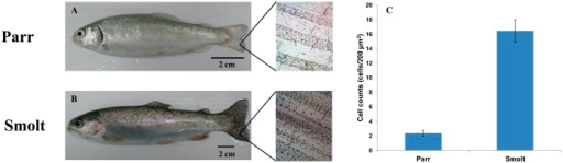 Pigmentation and melanophore counts of rainbow trout parr and smolt caudal fins.Pigmentation of (A) parr and (B) smolt. In close-ups of the caudal fins on the right of the images, note that in smolts the number of melanophores increased and more melanophores were present in the area between fin rays. (C) The number of melanophores in the area between fin rays increased in smolt (n = 11 for each group; also see supplementary material Table S1). Scale bars: 2 cm.