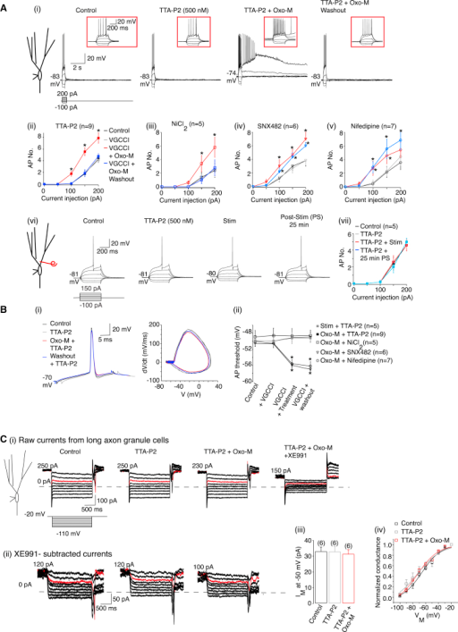 Enhanced T-Type Ca2+ Channel Activity Is Required for Muscarinic Receptor-Mediated Persistent Spike Threshold Reduction and KV7/M Current Suppression(Ai and Avi) Example traces under control conditions, in the presence of the TTA-P2 (500 nM), either co-application of TTA-P2 and Oxo-M (1 μM) or following HF stimulation in the presence of TTA-P2 and 25 min post-treatment. The RMP values are next to the traces. The insets show 1 s of each trace on an expanded scale. The scales apply to all traces.(Aii, Aiii, Aiv, Av, and Avii) The action potentials numbers (AP No.) under control conditions, in the presence of a voltage-gated Ca2+ channel inhibitors (VGCCI), in the presence of the VCCI either following 10 min Oxo-M treatment or HF stimulation and 25 min post-treatment.(Bi) Representative single spikes and phase plane plots before and after Oxo-M treatment when TTA-P2 was present.(Bii) The average spike threshold under control conditions, in the presence of the VCCI and pre- and post-treatment with the VCCI.(Ci) Example perforated-patch voltage-clamp traces obtained when the de-activation protocol was applied under control conditions, in the presence of TTA-P2, following a 10 min co-application of TTA-P2 and Oxo-M and subsequent application of XE991 (3 μM).(Cii) The traces obtained in the presence of XE991 were subtracted from all other traces to obtain the KV7/M currents.(Ciii) The average KV7/M current (IM) amplitude obtained by hyperpolarizing to −50 mV from −20 mV.(Civ) The apparent activation curve for the KV7/M currents under control conditions, in the presence of TTA-P2 and during co-application of TTA-P2 and Oxo-M.