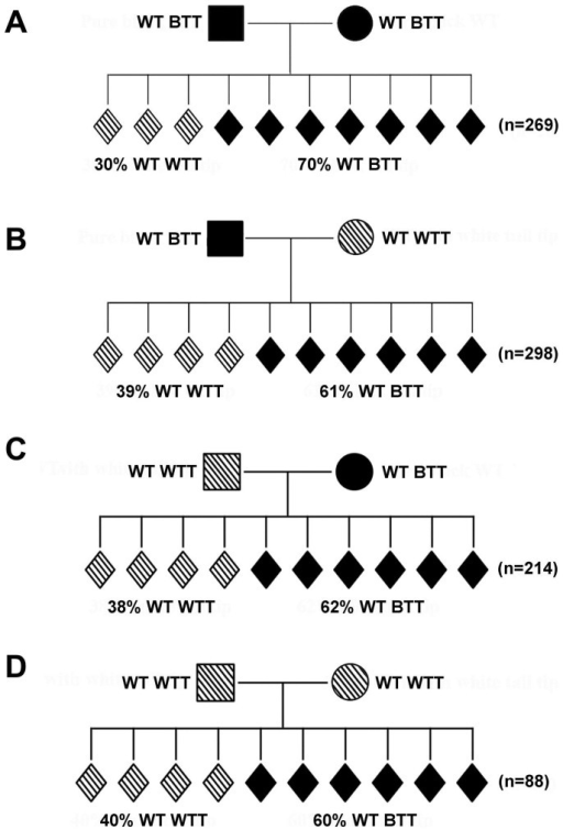 "The ""white-tail-tip"" phenotype is not unique to Kit paramutant mice, as demonstrated by different breeding schemes using normal wild-type C57BL/6J mice.(A) Incidence of the ""white-tail-tip"" (WTT) phenotype among offspring form WT BTT parents. (B) Incidence of the WTT phenotype among offspring derived from WT BTT fathers and WT WTT mothers. (C) Incidence of the WTT phenotype among offspring derived from WT WTT fathers and WT BTT mothers. (D) Incidence of the WTT phenotype among offspring derived from WT WTT parents. ""n"" denotes the total number of offspring observed in each of the four mating schemes (A–D)."