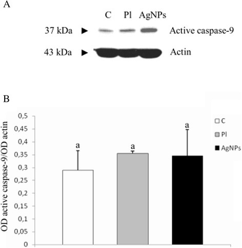 The level of active caspase 9 in GBM cells cultured in anin ovomodel. (A) Western blot analysis of the level of active caspase 9 in GBM cells from control group (C), placebo group (Pl), and AgNPs group (AgNPs). (B) Graph showing the optical density values (optical density, OD) obtained for the different bands, expressed in relative terms, defined as the ratio of OD values obtained for band representing active caspase 9 and OD values obtained for actin band. Letters (a, a) mean no statistically significant differences, P ≤ 0.05. The obtained results are the mean of three independent experiments.