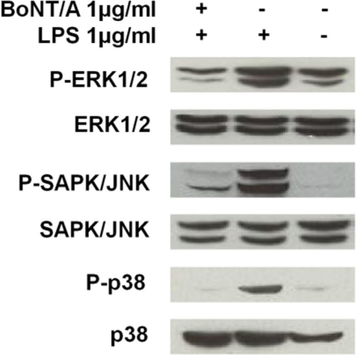 BoNT/A suppressed the phosphorylation of MAPKs in LPS-stimulated RAW264.7 macrophages.RAW264.7 cells were pretreated with 1 nM BoNT/A for 24 h, and then stimulated with 1 μg/ml LPS for 24 h. The cellular proteins were used to detect phosphorylated or total forms of the three MAPKs, ERK1/2, JNK1/2, and p38. Representative results of three independent experiments are shown.