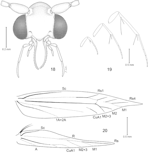 Philonomeclemensella, body morphology. 18 Head, frontal view 19 Legs 20 Wing venation.