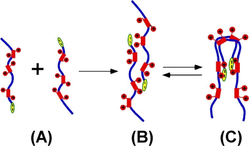 "A possible model for the HMGA2 homodimerization.Blue lines represent the protein backbone. Electrostatic interactions between the positively charged ""AT hooks"" (red rectangle with two red circles) and the negatively charged C-terminus (yellow oval) coordinate the dimer formation. (A) represents HMGA2 monomers. (B) and (C) represent different interchangeable conformations of HMGA2 homodimers. (C) is more consistent with our EDC cross-linking and sedimentation velocity results. The HMGA2 homodimers may be an ensemble of different conformers."