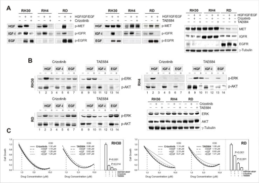 Multitarget inhibitory activity of crizotinib and TAE684 in RMS cells.(A) Western blot analysis of c-Met, IGF-1R and EGFR ligand-dependent phosphorylation. RMS cells were exposed to cognate receptor ligands (50 ng/ml HGF; 200 ng/ml IGF-I; 50 ng/ml EGF), in the presence and absence of Crizotinib or TAE684 inhibitors. Lysates were probed with antibodies directed against the specified proteins and γ-Tubulin. (B) Western blot analysis of c-Met, IGF-1R and EGFR ligand-dependent signalling. Effects on ERK and AKT phosphorylation were assessed using the specified antibodies. γ-Tubulin was used as loading control. (C) Growth inhibition of RH30 and RD cells after 24H-drug treatment, in the presence or absence of HGF, IGF-I or EGF growth factors. Growth curves show average values and IC50 values of triplicates from one representative experiment out of two, whereas bar graphs aside represent combined exposure to HGF, IGF-1 and EGF growth factors in the presence or absence of 5 μM Crizotinib, TAE684 or both for 24 hours.