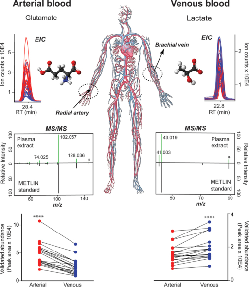 Simultaneous measurement of metabolite levels in human arterial and venous blood.Two key gluconeogenic metabolites whose levels changed significantly after the blood passage through the forearm skeletal muscle. The changes revealed by untargeted metabolite profiling (p < 0.0001, Wilcoxon matched pairs rank test) were identified as glutamate and lactate, respectively, by MS/MS matching against standards in the METLIN database and validated by targeted analysis (paired plots). EIC—Extracted Ion Chromatogram. MS/MS—Tandem mass spectra or fragmentation pattern. Four stars—p value < 0.0001. Michael Kurczy and Julijana Ivanisevic have illustrated the blood circulation using Adobe Illustrator.
