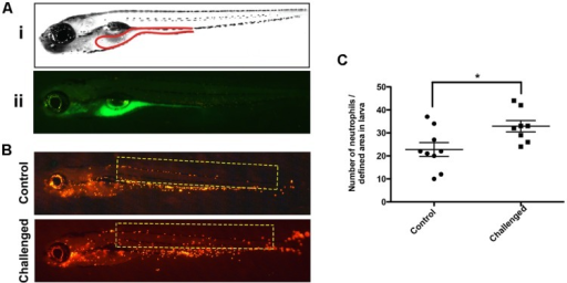 Stereoscopic observation of the 5-([4,6-Dichlorotriazin-2-yl] amino) fluorescein hydrochloride (DTAF)-labeled V. anguillarum in zebrafish larvae. (A) 5 dpf wild type (WT) larvae were inoculated by immersion with 107 UFC/ml DTAF stained V. anguillarum: (i) lateral view scheme of the gut; (ii) lateral view of challenged larvae. (B) 5 dpf Tg(Lyz:DsRed)nz50 larvae inoculated by immersion with 107 UFC/ml DTAF-stained V. anguillarum (challenge) or sterile E3 as a control (control). (C) Quantification of neutrophils migration was performed in the selected area (yellow rectangle).