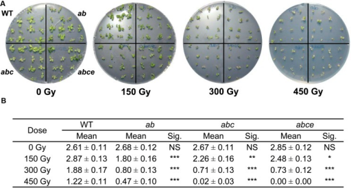 Atpds5 double, triple, and quadruple mutants are hypersensitive to γ-rays. (A) Phenotypes of 14-day-old seedlings (WT, double, triple, and quadruple mutants) after treatment with different radiation doses. (B) Mean number of true leaves per plant after treatment with different radiation doses. Mean values and standard errors are depicted. Asterisks indicate p-values from t-Student tests: NS, not significant; ∗∗∗p < 0.001, ∗∗p < 0.01, and ∗p < 0.05. ab: Atpds5a Atpds5b; abc: Atpds5a Atpds5b Atpds5c; abce: Atpds5a Atpds5b Atpds5c Atpds5e.