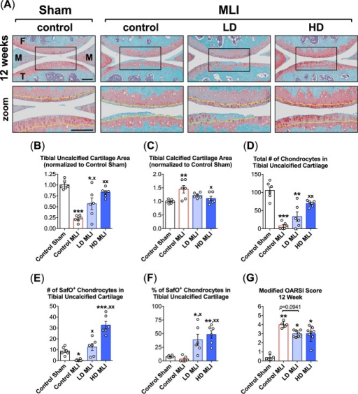 hCol1 protects against cartilage loss in mid to late stage murine PTOA.Panel (A) presents an array of representative 40x Safranin O/Fast Green stained sagittal sections from the medial compartment of sham and MLI joints 12 weeks post-injury under various treatment conditions (control = vehicle, LD = 3.8mg hCol1/day, HD = 38mg hCol1/day). Joint structures are labeled (F = femur, M = meniscus, T = tibia) and the tidemarks are denoted with a yellow dashed line in the zoomed images. Black scale bars depict 100μm. Cartilage architecture was evaluated using the Osteomeasure System to determine the tibial uncalcified cartilage area (B), the tibial calcified cartilage (C), the number of chondrocytes in the tibial uncalcified cartilage (D), and the number (E) and percentage (F) of Safranin-O positive (SafO+) chondrocytes in the tibial uncalcified cartilage. OARSI scoring of the sections analyzed by histomorphometry was also performed (G). For histomorphometry and cell counting, symbols (○) represent the average measurement made from 3 sections/joint. For OARSI Scoring, symbols (○) represent the average score for each joint based on scoring of 3 sections/joint by four observers. Bars in all graphs represent the average for each experimental group (± SEM, N = 6). Significant differences between experimental groups in the histomorphometry data (B-F) were identified via one-way ANOVA with a Tukey's multiple comparisons post-test (*p<0.05, **p<0.01, ***p<0.001 compared to Control Sham; xp<0.05, xxp<0.01 compared to Control MLI, N = 6). Significant differences between experimental groups in the OARSI data (G) were identified via a Kruskal-Wallis Test with a Dunn's multiple comparisons post-test (*p<0.05, **p<0.01 compared to Control Sham).