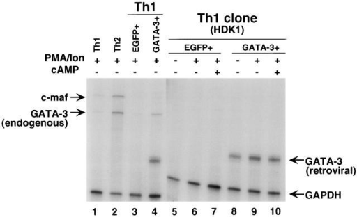GATA-3 induces endogenous GATA-3 but not c-maf. RNase protection assay for GATA-3 and c-maf transcripts was performed using total cellular RNAs as described in Materials and Methods. The locations of protected bands for c-maf and for endogenous as well as introduced GATA-3 transcripts are indicated.