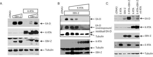 K-RTA inhibits EBV-Z-mediated EBV lytic gene expression.A. K-RTA inhibits EBV-Z-mediated EBV lytic gene expression. EBV-Z expression plasmid (0, 0.1, and 0.2 µg) plus K-RTA (0.2 µg) were transfected into BRLF1KO (EBV+/KSHV−) cells in 6-well plate as shown on the top. Lysates were used for western blot analysis 24 hours later. The same membrane was stripped and reprobed with other antibodies. The identity of proteins is as shown. B. Dose-dependent inhibition of EBV-Z-mediated lytic gene expression by K-RTA. Fix amount of EBV-Z expression plasmid (0.1 µg) plus various amounts of K-RTA (0, 0.05, 0.1, 0.2, 0.4 µg) were transfected into BRLF1-KO (EBV+/KSHV−) cells in 6-well plate as shown on the top. Lysates were used for western blot analysis. Same cell lysates were used. C. K-RTA inhibits the synergistic activation of EA-D. EBV-Z expression plasmid (0.025 µg), E-RTA (0.1 µg), and K-RTA (0.2 µg) were transfected with different combinations into BRLF1-KO cells as shown on the top. The same cell lysates were used for western blot analysis. The identity of proteins is as shown.