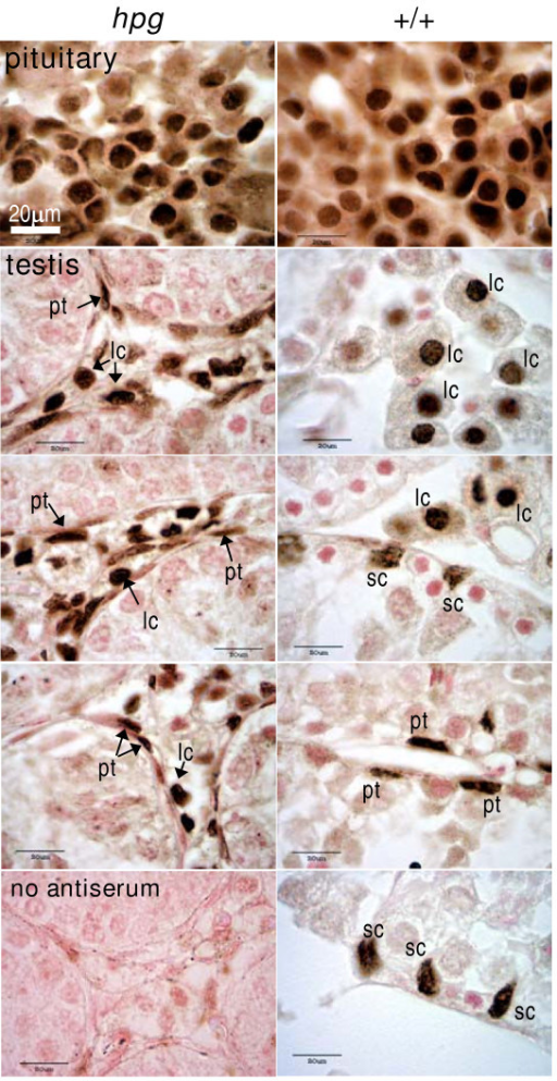Immunohistochemical localization of ERα in hpg mice. Examples of immunohistochemical localization of ERα in the pituitary gland (upper panels) or testis of hypogonadal mice (hpg, left panels) or age-matched wild-type mice (+/+, right panels). Note that many anterior pituitary cells express nuclear ERα immunoreactivity in both hpg and +/+ mice. ERα-ir is abundant in the Leydig cells (lc) and peritubular myoid cells (pt) in the testis of hpg mice, and is also present in some Sertoli cells (sc) in wild-type mice. Bottom left panel shows a control study in which the primary antiserum was omitted, the section is from a hpg testis. All photomicrographs were taken at the same magnification so the 20 μm scale bar in top left panel applies to all panels