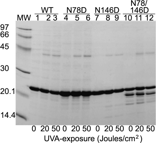 SDS–PAGE analysis of UV-A-exposed and unexposed WT αB-crystallin and its three deamidated mutant species. After UV-A-exposure of varying doses (0, 20, and 50 J/cm2, shown at the bottom of the gel), the WT αB-crystallin and its three deamidated mutant proteins (αB-Asn78Asp, αB-Asn146Asp, and αB-Asn78/146Asp) were analyzed. Increased dimerization of each protein and degradation, particularly in the deamidated species, were observed following UV-A-exposure.