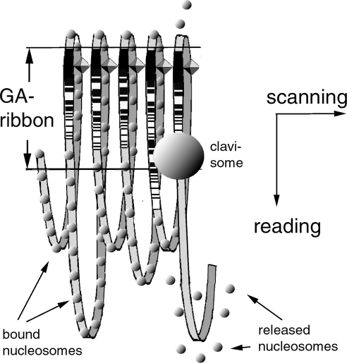 Outline of a chromatin model that supports a fast genome navigation system.By leaping from one GA-sequence to the next along the GA-ribbon in the scanning direction while 'reading' the information encoded in the proteins bound to the GA sequence in the reading direction, the postulated 'clavisomes' (searching complexes) can efficiently find the appropriate GA-sequence on a more than 700-fold shorter search path than by crawling along the various size loops of genomic DNA. After a clavisome found its target GA-sequence and interacted with it, the nucleosomes in the associated loop are released, and the specific coding sequences in the loop are exposed to the transcription mechanisms.