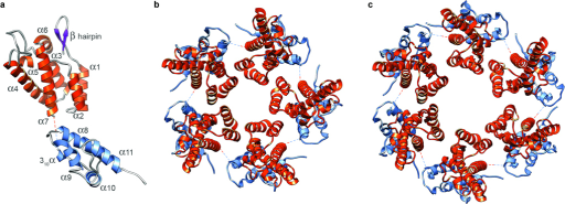 Pseudo-atomic models of the RSV-CA subunit, pentamer, and hexamer. a shows the relative positions and orientations of the NTD (orange) and CTD (blue), as disposed in the T=1 capsid. The dashed line connects the C-terminus of the NTD to the N-terminus of the CTD. b and c show axial views of the pentamer and hexamer, respectively.