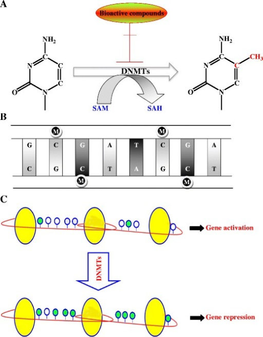 Schematic diagram illustrating dna methylation catalyze open i schematic diagram illustrating dna methylation catalyzed by dnmts a the dna methylation process is catalyzed ccuart Choice Image