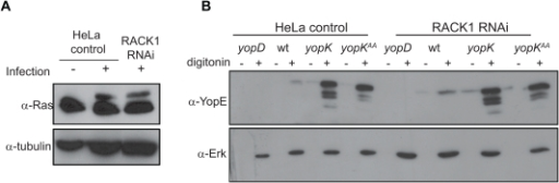 RACK1 is not required for Yop translocation.(A) Translocation of ExoS resulting in modification of Ras in control and RACK1 RNAi HeLa cells. The cells were infected with a Y. pseudotuberculosis strain expressing ExoS [YPIII(pIB526), pTS103]. Modification of Ras was visualized by Western blot with anti-Ras antibodies. Detection of tubulin was used as loading control. (B) Translocation of YopE into control and RACK1 RNAi HeLa cells. Cells were infected with the indicated strains and then treated with proteinase K. Thereafter, the cells were lysed with digitonin or left untreated. The resulting supernatants were subjected to Western blot analysis using anti-YopE antisera. The translocation deficient yopD mutant was included as negative control and detection of Erk was used as loading control.