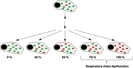 Mitotic segregation of mtDNA. A single mutational event creates heteroplasmy in a cell, but the level of mutated mtDNA (red dots) is very low in comparison with normal mtDNA (green dots). There is no synchronization between cell division and mtDNA replication, and a particular mtDNA molecule may be replicated many times or not at all during a single cell cycle. Repeated cell division will lead to mitotic segregation of normal and mutated mtDNA, and accumulation of mutated mtDNA above a certain threshold level will lead to impaired respiratory chain function.