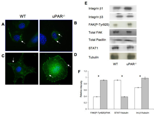 uPAR-/- ECs demonstrated changes in focal adhesion proteins FAK(P-Tyr925), Pax(P-Tyr118), integrins, and signal transduction: (A) WT cells adherent on Vn for 4 hr were stained for FAK(P-Tyr925) (green) and the nucleus (blue) and were imaged using an 100× objective. FAK(P-Tyr925) was found to be localized on focal adhesions (arrow) in WT cells. (B) uPAR-/- ECs stained for FAK(P-Tyr925) demonstrated that FAK(P-Tyr925) was present not only along the cellular membrane (arrow) but also centrally in the cytoplasm (arrow). (C) Similar to (A), WT cells adherent on Vn were stained for Pax(P-Tyr118) (green) and DNA (blue). Images (100× objective) demonstrated that Pax(P-Tyr118) is present mainly along the focal adhesions and lamellipodia (arrow) in WT cells. Robust lamellipodia formation was observed. (D) Pax(P-Tyr118) (green) localization in uPAR-/- ECs adherent on Vn occurred along the focal adhesions (arrow) of the circularly shaped cell as well as centrally within the cytoplasm (arrow). Lack of lamelllipodia formation was observed in uPAR-/- ECs (B, D). (E) Immunoblot analyses of focal adhesion proteins and STAT1. Quiescent WT and uPAR-/- ECs were seeded on Vn-coated 6-well plates and allowed to adhere for 4 hr. The medium was aspirated and the cell lysates were utilized for analyses. Levels of integrins β1, β3, and FAK(P-Tyr925) were determined by IP of 100 μg of cell lysates. Levels of integrin β1 and FAK(P-Tyr925) were enhanced in uPAR-/- ECs compared to WT cells, while levels of integrin β3, total FAK, and paxillin were similar between WT and uPAR-/- ECs. uPAR-/- ECs showed decreased levels of STAT1 compared to WT cells. Tubulin served as a loading control. (F) The graph shows the levels of FAK(P-Tyr925/FAK), STAT1/tubulin, and Integrin β1/tubulin between WT and uPAR-/- ECs. The values obtained represent the mean ± SEM of three independent assays. Significance levels (*) indicates p value of < 0.05 between WT and uPAR-/- cells.