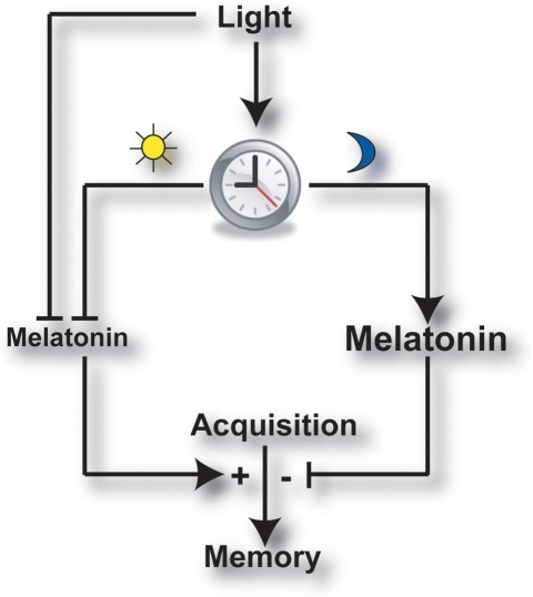 Working model, illustrating the hypothesized rhythmic modulatory role of endogenous melatonin on memory processing. Cycling endogenous melatonin levels regulated by the circadian clock and by light/dark cycles, modulate the processing of newly acquired information into long-term memory. Inhibition (┤) of melatonin synthesis by the circadian clock or light directly, facilitates (►+) long-term memory formation. Alternatively, the nighttime peak in melatonin levels imposes an inhibitory effect (┤−) on memory consolidation.